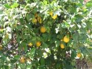 108-0866_IMG ...Zitronenbaum in Acharavi...