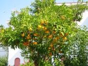 Corfu-Orangenbaum